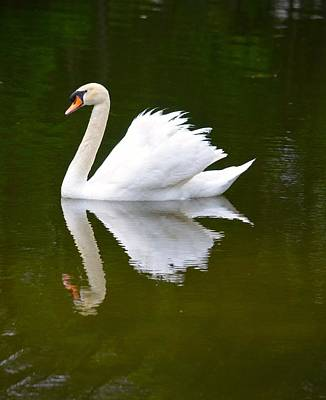 Swan Reflecting Art Print