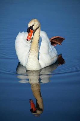 Photograph - Swan Reflection by Karol Livote