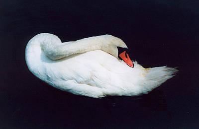 Swan Art Print by Richard Mansfield