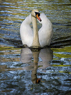 Photograph - Swan Sailing by Inge Riis McDonald