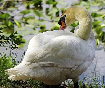 Photograph - Swan  by September Stone