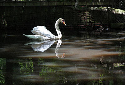 Photograph - Swan Series I by Suzanne Gaff