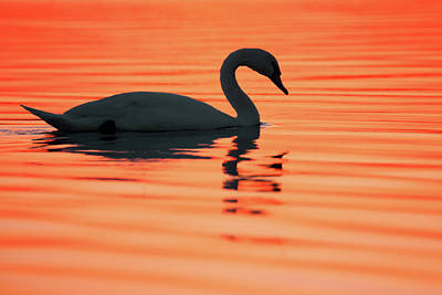 Wall Decoration Photograph - Swan Silhouette by Roeselien Raimond