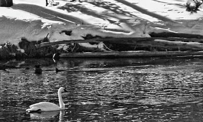Photograph - Swan Song by C Sitton