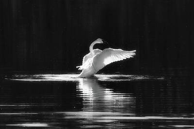 Photograph - Swan Song by Penny Meyers