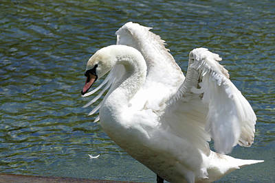 Photograph - Swan Stretching Its Wings by Bill Jordan