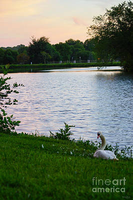 Photograph - Swan Sunset by Jennifer White