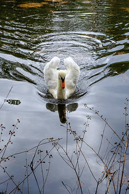 Photograph - Swan Swim by Glenn DiPaola