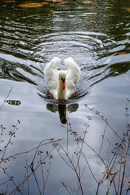 Photograph - Swan Swim by Glenn DiPaola