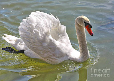 Photograph - Swan Swimming By by Carol Groenen