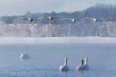 Photograph - Four Swans Landing by Patti Deters
