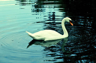 Photograph - Swan by Tony Grider