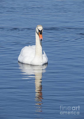 Photograph - Swan With Reflection by Lili Feinstein