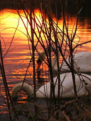 Photograph - Swans 1 by Jeff Heimlich