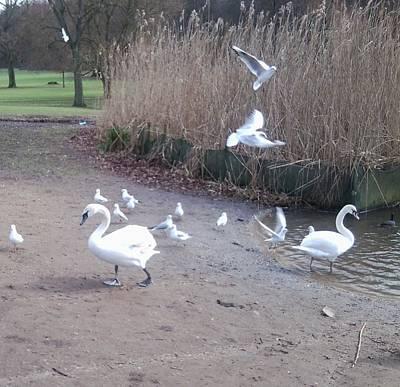 Photograph - Swans 4 by Julia Woodman
