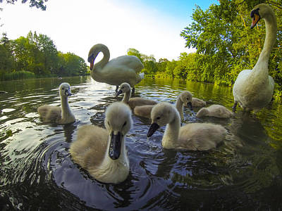 Photograph - Swans And Cygnets  by Will Gudgeon