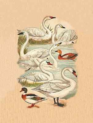 Swans And Ducks Art Print by Eric Kempson