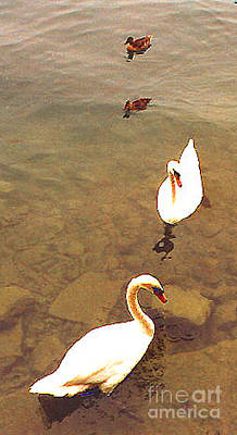 Photograph - Swans And Ducks by Merton Allen