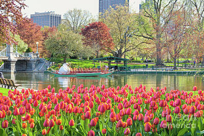 Boston Public Garden Photograph - Swans And Tulips 2 by Susan Cole Kelly