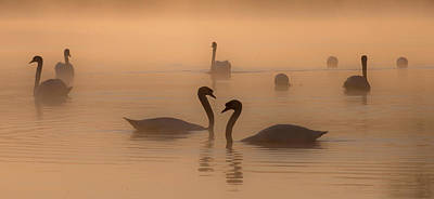 Photograph - Swans At Dawn by Roger Lever