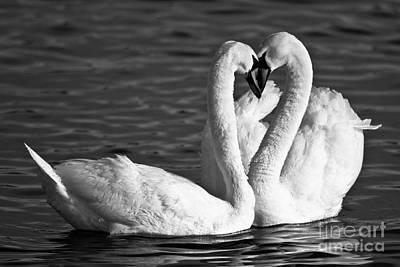 Swans Art Print by Brandon Broderick