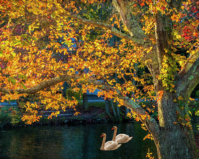 Photograph - Swans by Cathy Kovarik