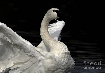 Photograph - Swans Display by Sue Harper