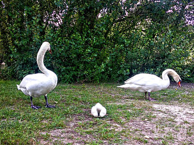 Photograph - Swan's Family #2 by Jasna Dragun