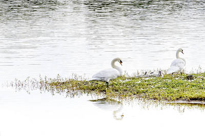 Photograph - Swan's Family by Jeremy Lavender Photography
