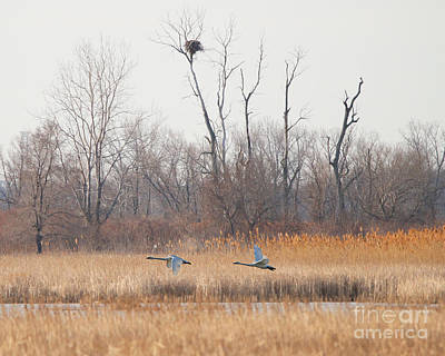 Swans Fly By Eagles Nest  8779 Art Print by Jack Schultz