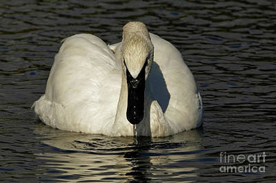 Photograph - Swans Grace by Sue Harper