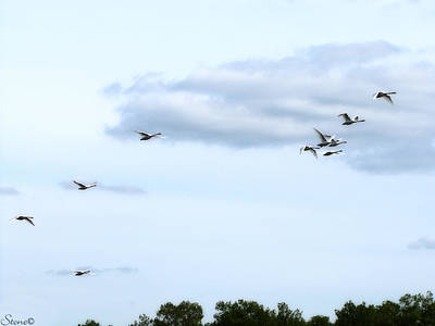 Photograph - Swans In Flight 2 by September  Stone