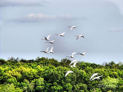 Photograph - Swans In Flight by September  Stone