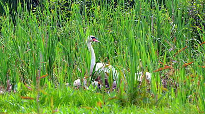Photograph - Swans' In Hiding by Lisa Wooten