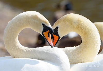 Photograph - Swans In Love by Colin Rayner