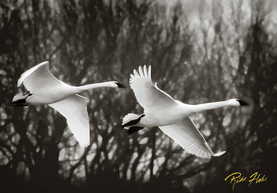 Photograph - Swans In Monochrome by Rikk Flohr