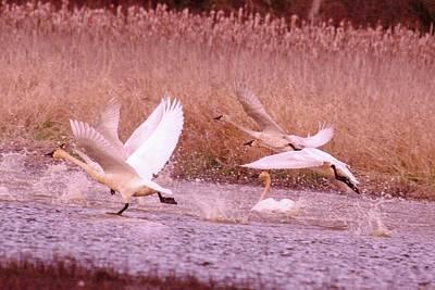 Swans In Take Off  Art Print by Jeff Swan