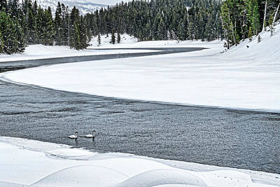 Photograph - Swans In The River - Yellowstone by Stuart Litoff