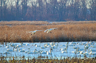 Photograph - Swans Landing  6811 by Jack Schultz