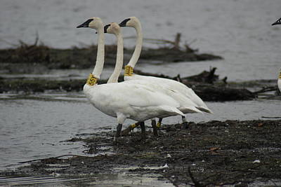 Photograph - Swans Line Dancing by Ron Read