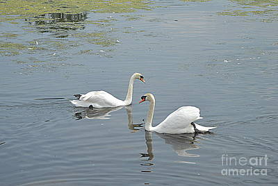 Photograph - Swans Meet by Andy Thompson