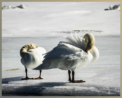 Swans On Ice Art Print
