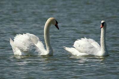 Photograph - Swans On Lake  by Cliff Norton