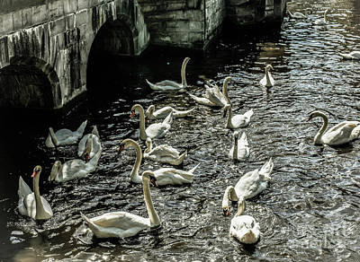 Photograph - Swans On The Canal by Lexa Harpell