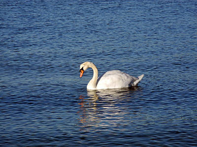 Photograph - Swans Reflection by Lynda Lehmann