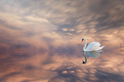 Photograph - Swans Reflections by Carolyn Dalessandro
