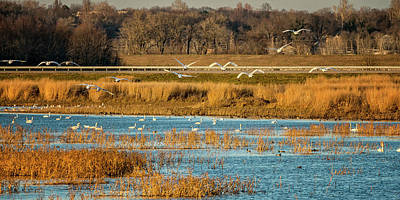 Photograph - Swans Returning To The Roost At Riverlands 7r2_dsc3855_12202017 by Greg Kluempers