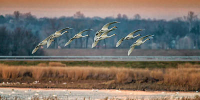 Photograph - Swans Returning To The Roost At Riverlands 7r2_dsc3940_12202017 by Greg Kluempers