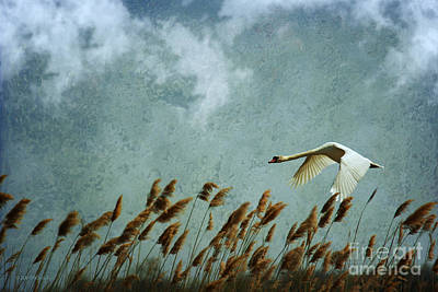 Moment Mixed Media - Swans Rule The Marshlands by Beve Brown-Clark Photography