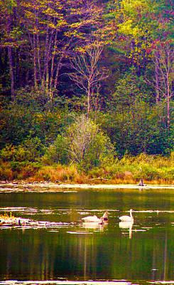 Photograph - Swans by Susan Crossman Buscho